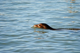 A Sea Lion on the move...