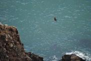 An Eagle on the move over Muir Beach outlook...
