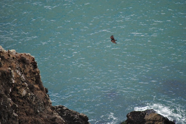 An Eagle on the move over Muir Beach outlook...