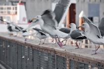 Seagulls on Fisherman's wharf on the move...