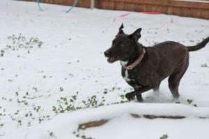 My Anna dog runs through the snow/ice.