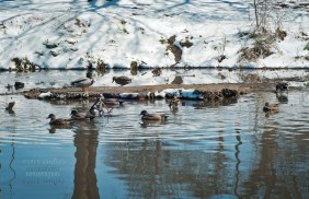 The ducks at the park. They don't seem to mind the snow.